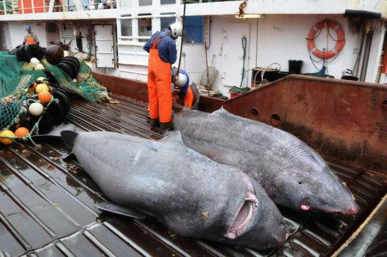 requin du Groenland