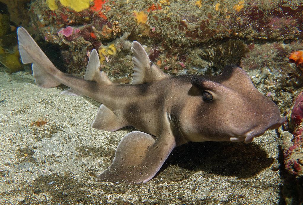 Requin dormeur à crête (Heterodontus galeatus)