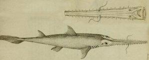Requin-scie à long nez (Pristiophorus cirratus)