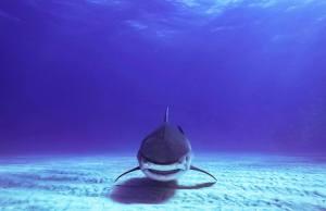 Détourner la trajectoire d'un requin trop envahissant
