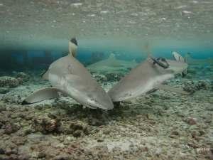 Journal de bord d'un requin : Le requin pointes noires