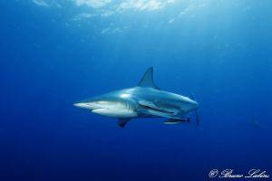 Requin bordé (Carcharhinus limbatus)
