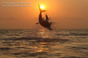 Alessandro De Maddalena nous avertit sur la situation alarmante des requins blancs dans le monde