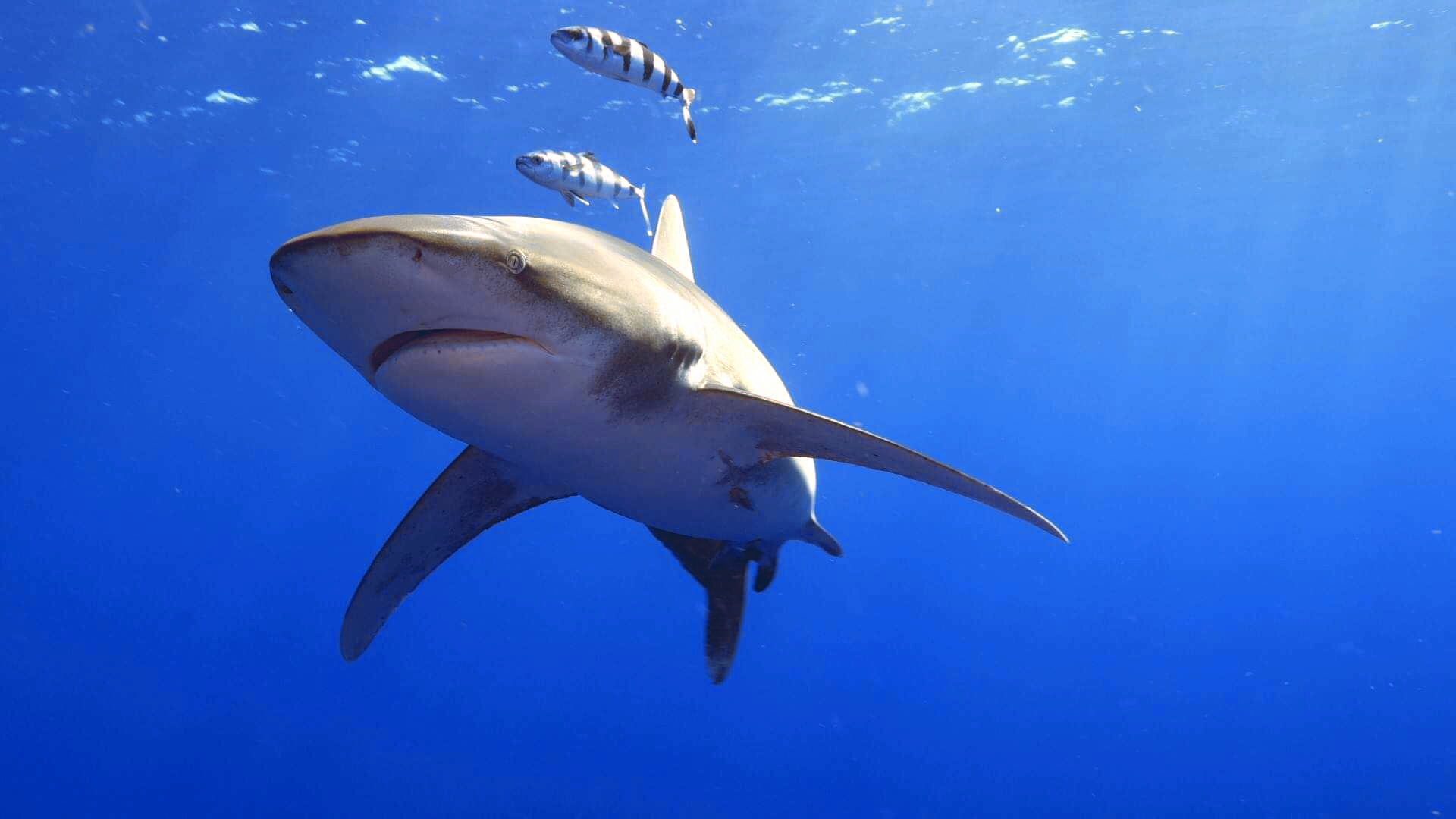 De la peur à l'admiration, l'image des requins à travers les cultures