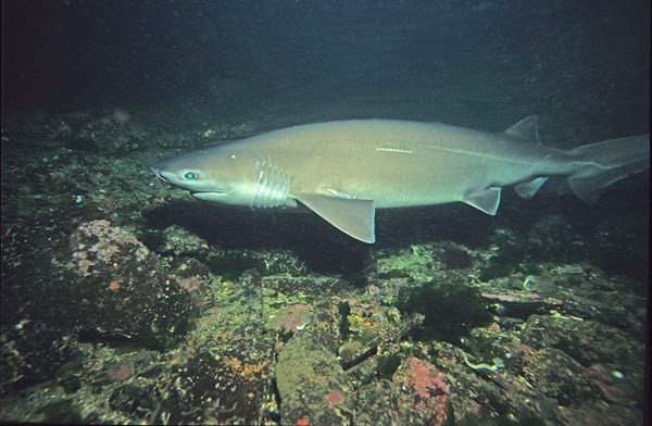 Requin griset (Hexanchus griseus)