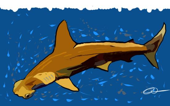 Le requin marteau à petits yeux (Sphyrna tudes)