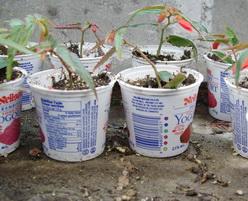 Pot de yaourt pour semis
