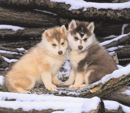 Au pays des loups