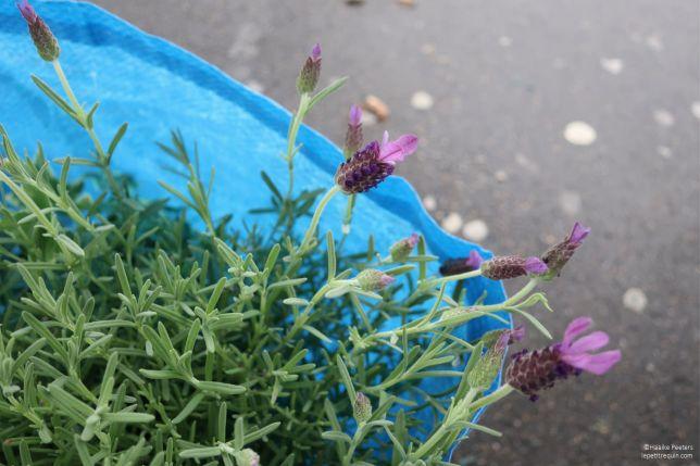 Lavendel (Le petit requin)