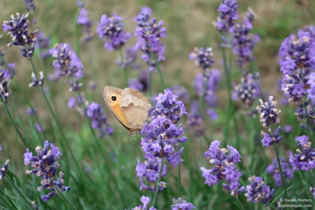 Vlinder op lavendel (Le petit requin)