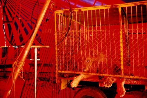 Un lion est allongé dans la cage d'un cirque