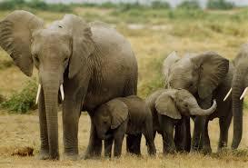 Ces éléphants sont voie de disparition en Côte d'Ivoire