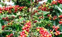 Côte d'Ivoire : le prix du kilogramme de café passe de 670 FCFA à 750 FCFA