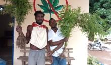 [Côte d'Ivoire/Lutte contre les stupéfiants] 1 ha de cannabis détruit, 2 individus arrêtés à Soakpé