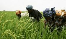 [Afrique/Filière riz] Le Nigéria occupe, à présent, le premier rang de la plus grande production