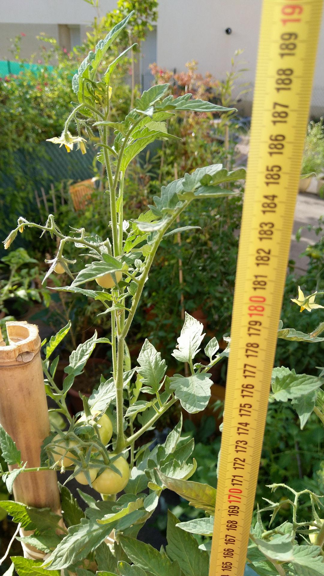 tomate-geante-pot-fleurs-permaculture