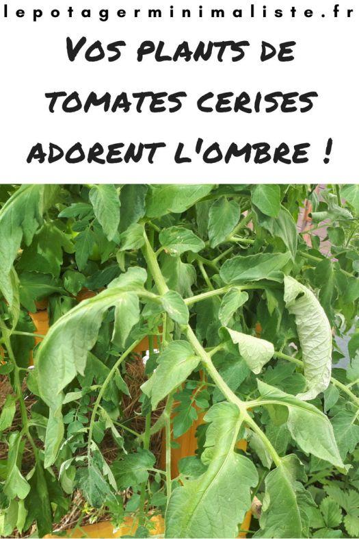 tomate-fletrit-soleil-ombre-exposition-arrosage-pinterest