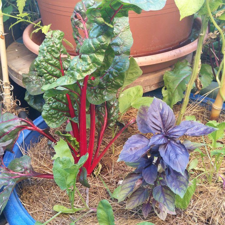 blette-rouge-basilic-pourpre-permaculture