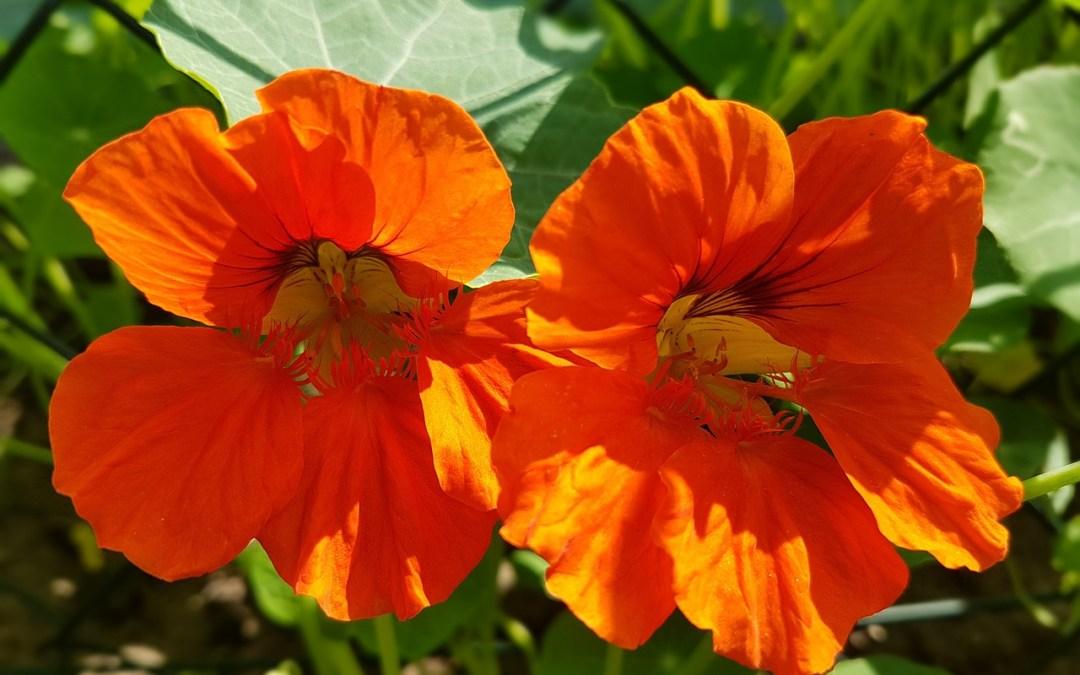 Des fleurs comestibles au potager
