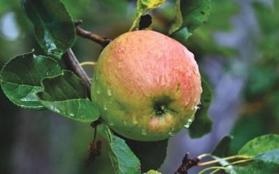 L'art de conserver les pommes [Article abonnés]