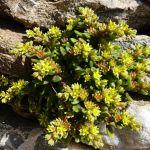 plante-crassulescente