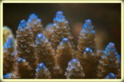 acropora2copie