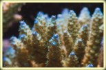 acropora4copie