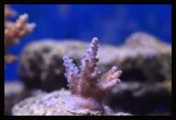 bouture acropora sp (2)