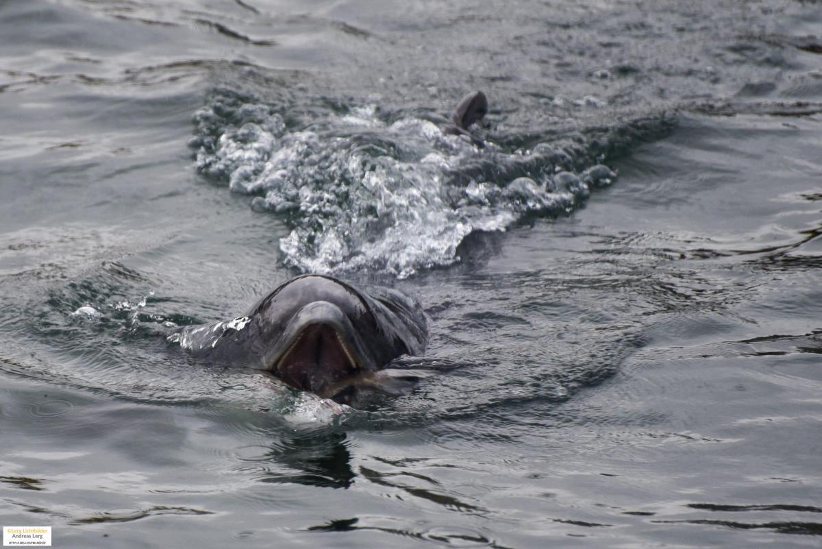 Der Schweinswal vergnügte sich im Hafen von Svendborg. (Fotos: Andreas Lerg)