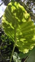 A huge leaf at the NY Botanical Garden