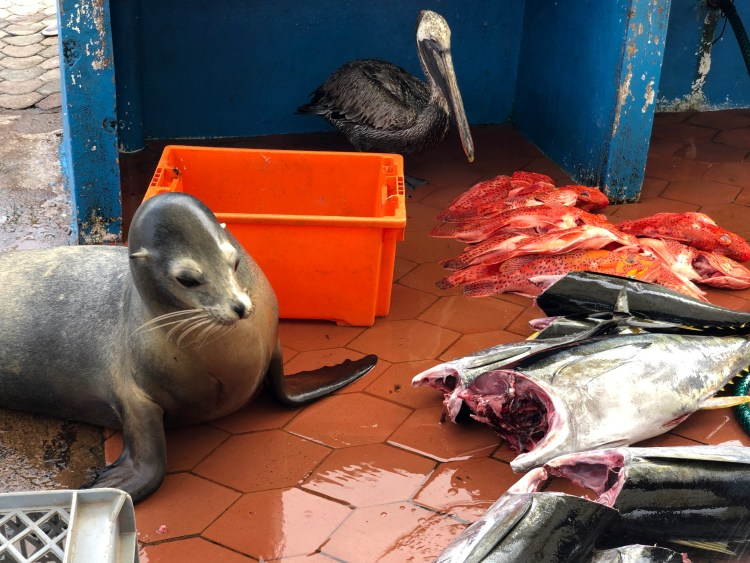 A sea lion and pelican at a fish market.