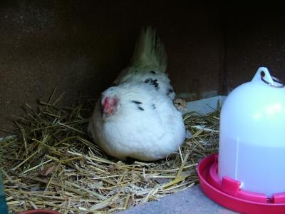 Eine brütende Henne, Foto: sunpic / pixelio.de