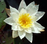 A water lily. August 2002
