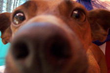 My dog Boing checking out my camera's close-up features. August 2002