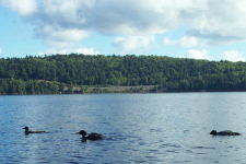 A family of loons that came up near our canoe on Lake of Two Rivers. August 2002