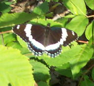 A butterfly of some sort. I don't have a book that will identify it.