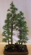Eastern Larch (Larix laricina) in a small forest setting.
