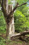 A tree that has split.