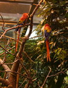 A pair of Scarlet macaws (Ara macao).