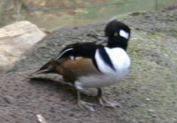 A common goldeneye (Bucephala clangula).  Apparently, these  birds don't get along will with others, so they had to be  separated from the others.  hehe.