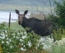 A female moose (<I>Order: artiodactyla {cloven-hoofed  Mammals} Family: cervidae {deer} alces alces</I>).