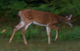 A young White-tailed Deer (fawn) (<I>Order: artiodactyla  {cloven-hoofed Mammals} Family: cervidae {deer} odocoileus  virginianus</I>) we saw after returning from an early morning  shoot.