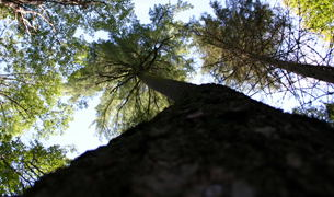 One of the big White Pines on the trail.  I believe this tree is  around 40-45 meters high, but I could be wrong.