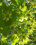 A Maple tree flowering.