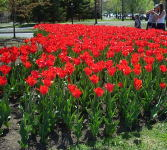 Tulips at Dows lake.