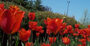 Closer to tulips.