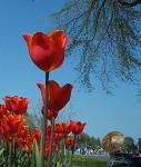 Very tall tulips.