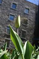 A unopened tulip.