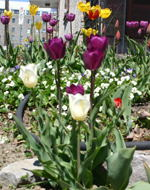 Tulips on Parent Avenue.