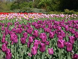 A veritable sea of tulips!